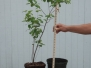 Amelanchier canadensis (Serviceberry)