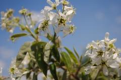Amelanchier laevis (Allegheny Serviceberry)