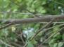 Betula nigra (River Birch)