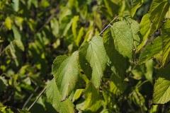 Celtis occidentalis (Hackberry)
