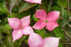 Cornus 'Rosy Teacups'® (Rosy Teacups® Dogwood)