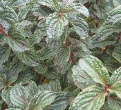 Cornus stolonifera 'Pucker Up™' (Pucker Up™ Red Twig Dogwood)