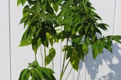 Cornus stolonifera (Red Twig Dogwood)