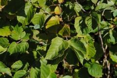 Corylus americana (Hazelnut)
