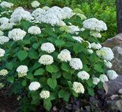 Hydrangea arborescens 'Incrediball®' (Incrediball® Smooth Hydrangea)