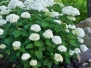 Hydrangea arborescens 'Incrediball®' (Incrediball® Smooth Hydrangea)