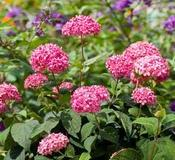 Hydrangea arborescens 'Invincibelle® Spirit' (Invincibelle® Smooth Hydrangea)