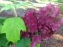 Hydrangea quercifolia 'Amethyst' (Oakleaf Hydrangea)