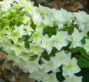 Hydrangea quercifolia 'Gatsby's Star'™ (Oakleaf Hydrangea)