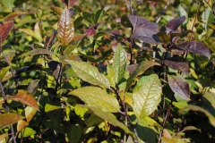 Ilex verticilata (Winterberry Holly)