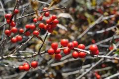 Ilex verticillata 'After Glow' (Winterberry Holly)