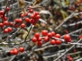 Ilex verticillata 'After Glow' (Winterberry Holly)
