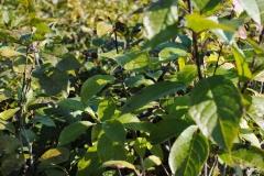 Ilex verticillata 'Apollo' (Winterberry Holly)