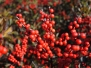 Ilex verticillata 'Berry Nice' (Winterberry Holly)