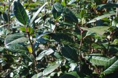 Ilex verticillata 'Jim Dandy' (Winterberry Holly)