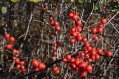 Ilex verticillata 'MD Beauty' (Winterberry Holly)