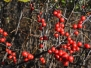 Ilex verticillata 'MD Beauty' (Winterberry Holly)