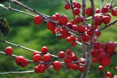 Ilex verticillata 'Red Sprite' (Winterberry Holly)