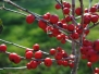 Ilex verticillata 'Red Sprite' (Winterberry Holly)