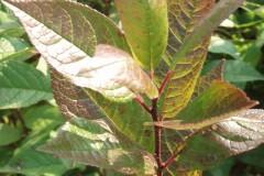 Ilex verticillata 'Southern Gentleman' (Winterberry Holly)