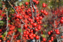Ilex verticillata 'Sparkleberry' (Winterberry Holly)