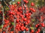 Ilex verticillata 'Sparkleberry' (Winterberry Holly)