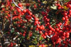 Ilex verticillata 'Winter Red' (Winterberry Holly)