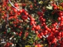 Ilex verticillata 'Winter Red' (Winterberry Holly)