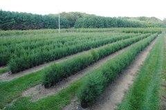 Juniperus virginiana (Eastern Red Cedar)
