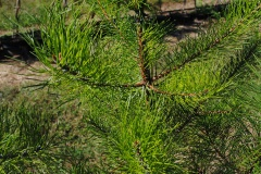 Pinus rigida (Pitch Pine)