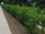 Pinus virginiana (Virginia Pine)