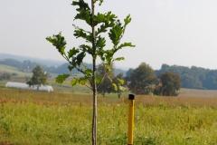 Quercus alba (White Oak)