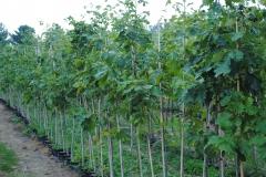 Quercus bicolor (Swamp White Oak)