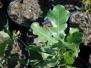 Quercus marilandica (Blackjack Oak)