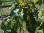 Quercus muehlenbergii (Chinkapin Oak)