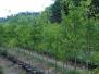 Quercus phellos (Willow Oak)