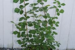 Rhus aromatica 'Lo Grow' (Grow Low Aromatic Sumac)