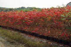 Rhus typhina (Staghorn Sumac)