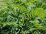 Robinia pseudoacacia (Black Locust)