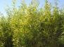 Salix nigra (Black Willow)