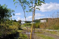 Sambucus canadensis (Elderberry)