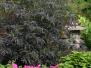 Sambucus nigra 'Black Lace™' (Black Lace™ Elderberry)