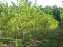 Ulmus americana 'Valley Forge' (Valley Forge American Elm)