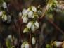 Vaccinium angustifolium (Lowbush Blueberry)