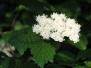 Viburnum dentatum (Arrowwood Viburnum)