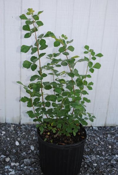 Rhus aromatica 'Lo Grow'